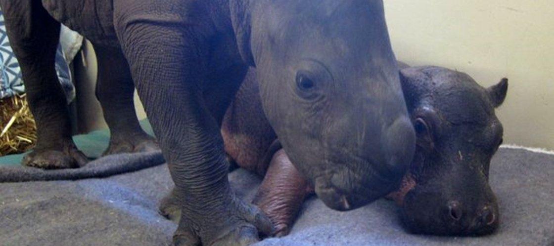 A amizade de um rinoceronte e um hipopótamo vai derreter o seu coração