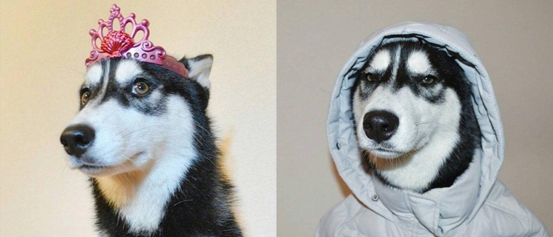 Conheça a Luna: uma husky completamente irresistível
