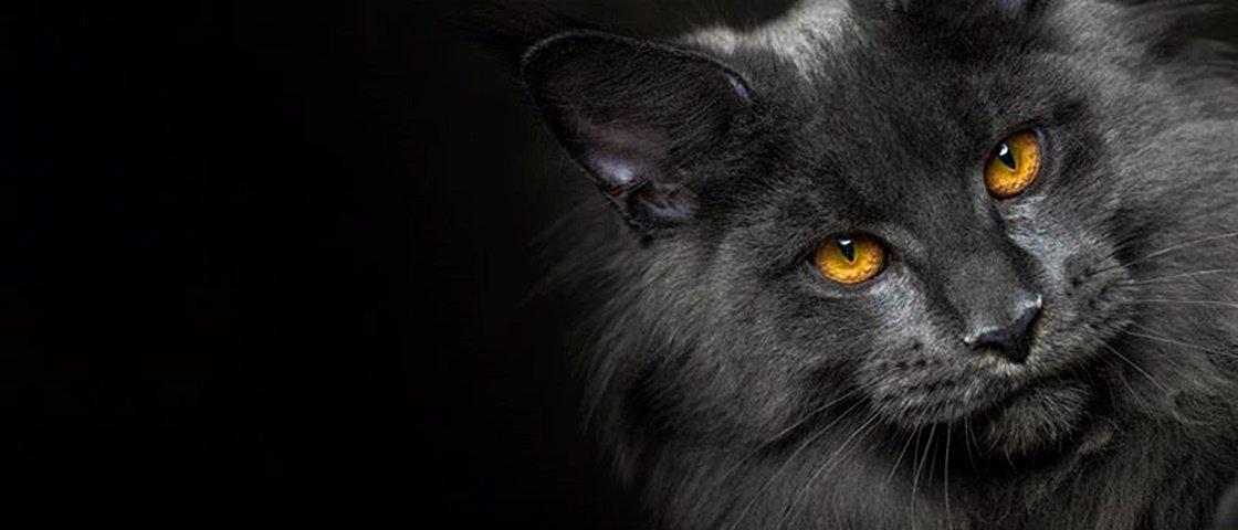 Conheça 10 gatos da raça maine coon, os maiores bichanos que existem