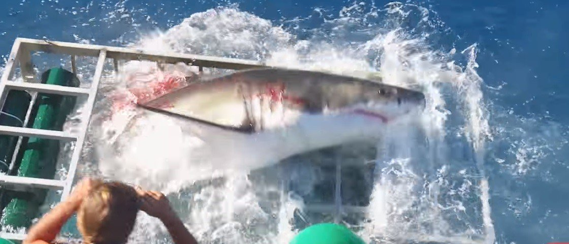 Assustador é pouco: tubarão invade jaula onde mergulhador estava submerso