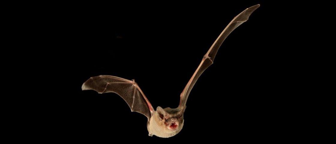 Bat-recorde: morcego é coroado criatura alada mais rápida da Terra