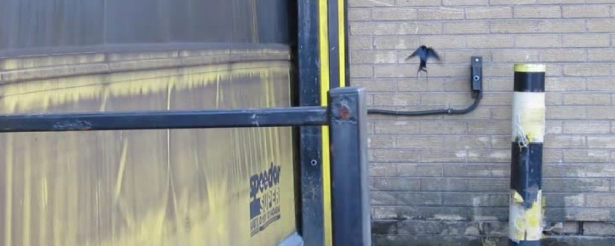 Você não vai acreditar, mas estes pássaros sabem acionar portas automáticas