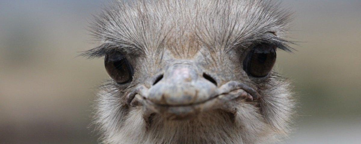 Será verdade que os avestruzes enterram a cabeça na terra quando têm medo?