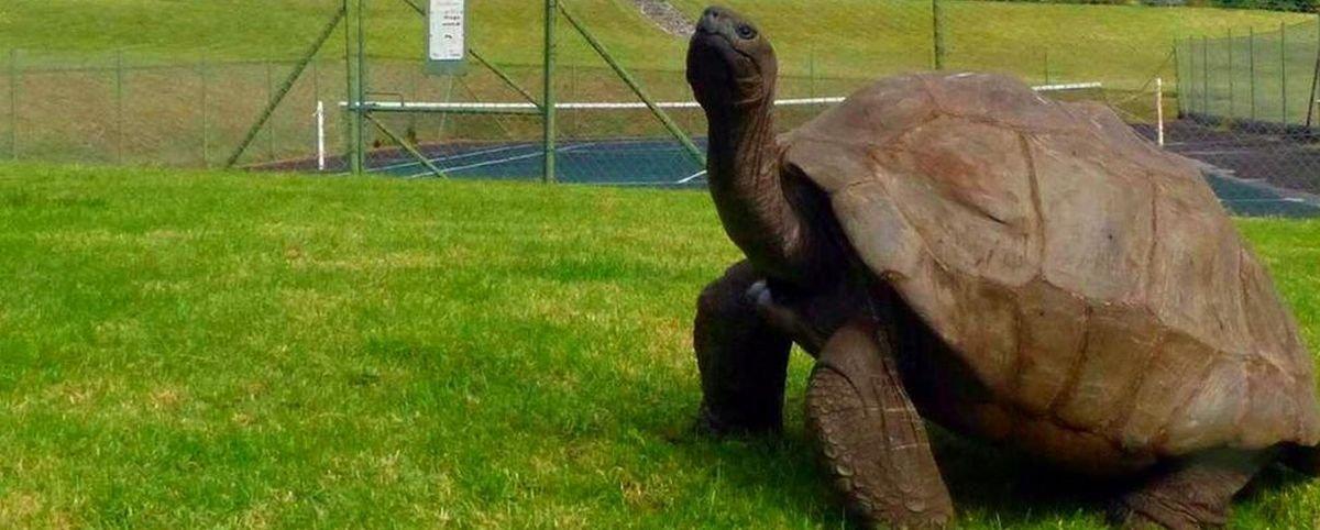 Jonathan é gay: sexualidade da tartaruga mais velha do mundo é descoberta