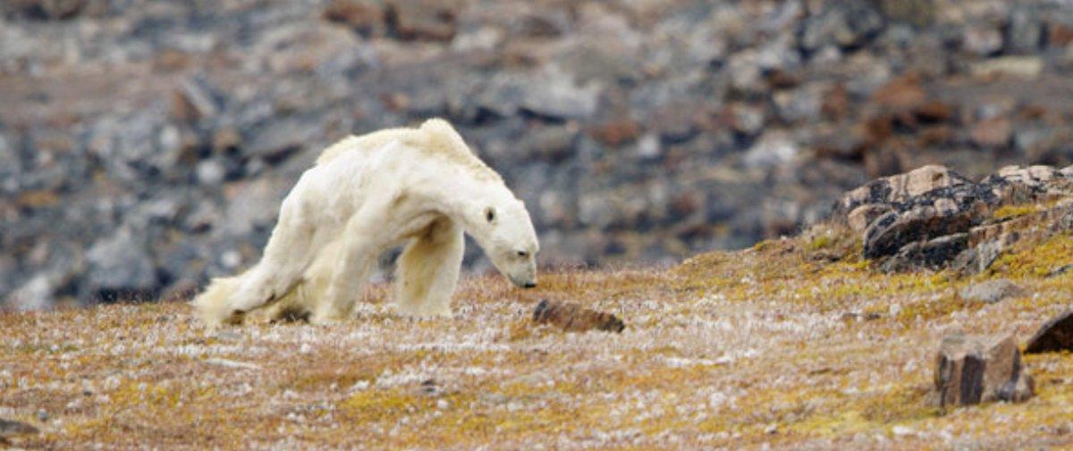 Você viu este estarrecedor vídeo mostrando um urso polar morrendo de fome?