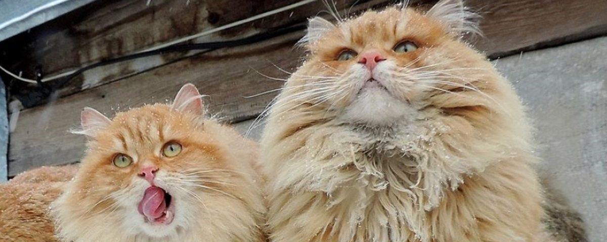 Esta fazenda de gatos siberianos vai mexer com seus sentimentos