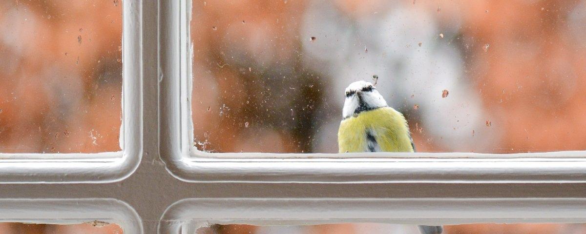 Por que os passarinhos vivem se batendo contra as janelas?