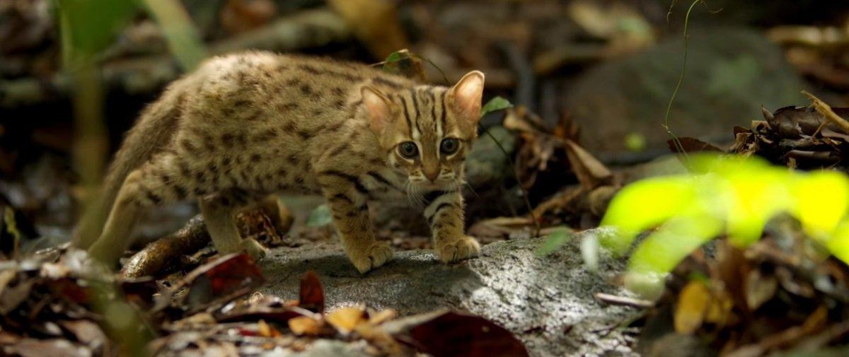 O menor felino do mundo também é um dos mais fofos que existem. Confira!