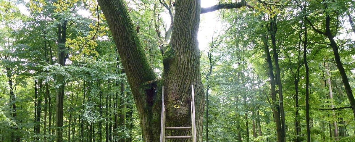 Conheça a árvore que é uma espécie de Tinder desde o século passado