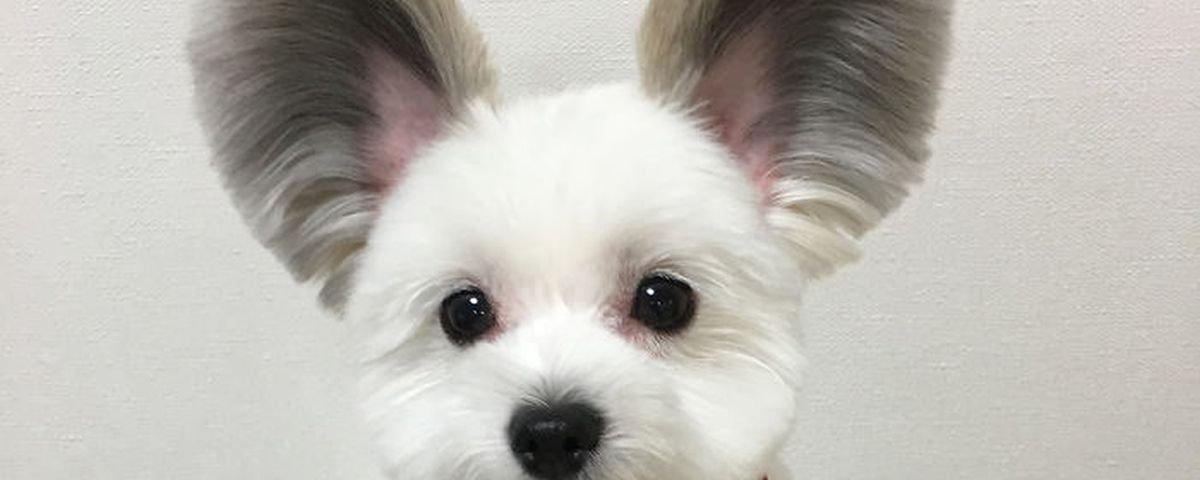 Cão com orelhas iguais às do Mickey é a nova sensação canina da internet