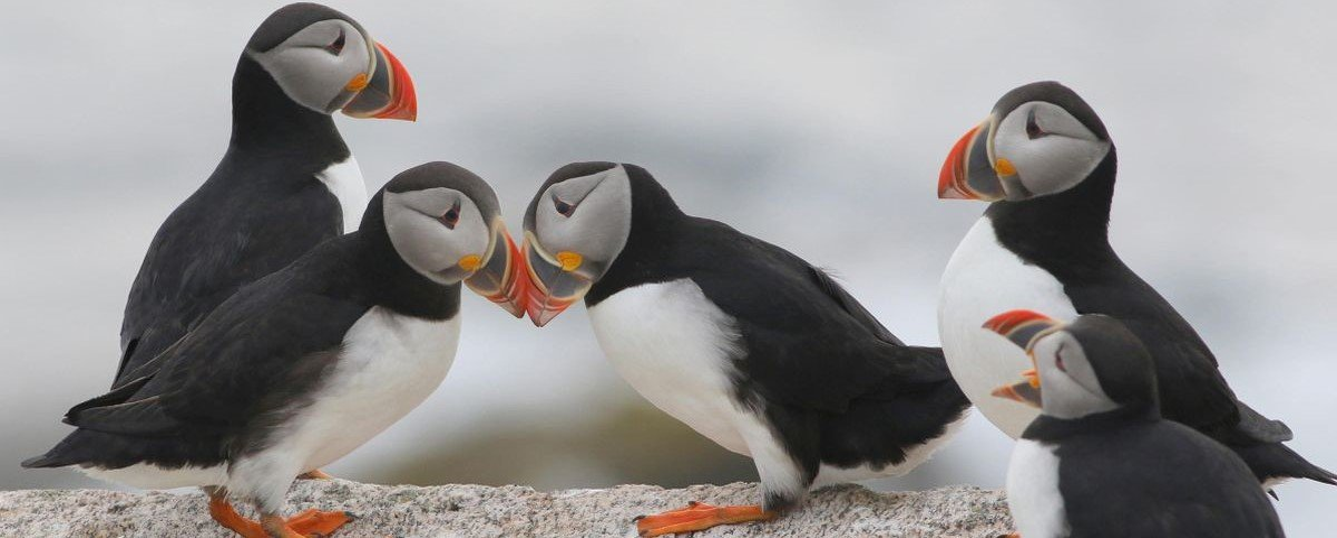 5 curiosidades bicudas sobre os fofíssimos papagaios-do-mar
