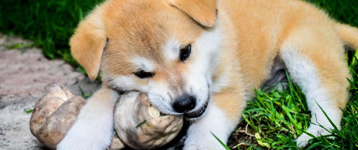 Você sabe por que os cachorros adoram roer ossos?