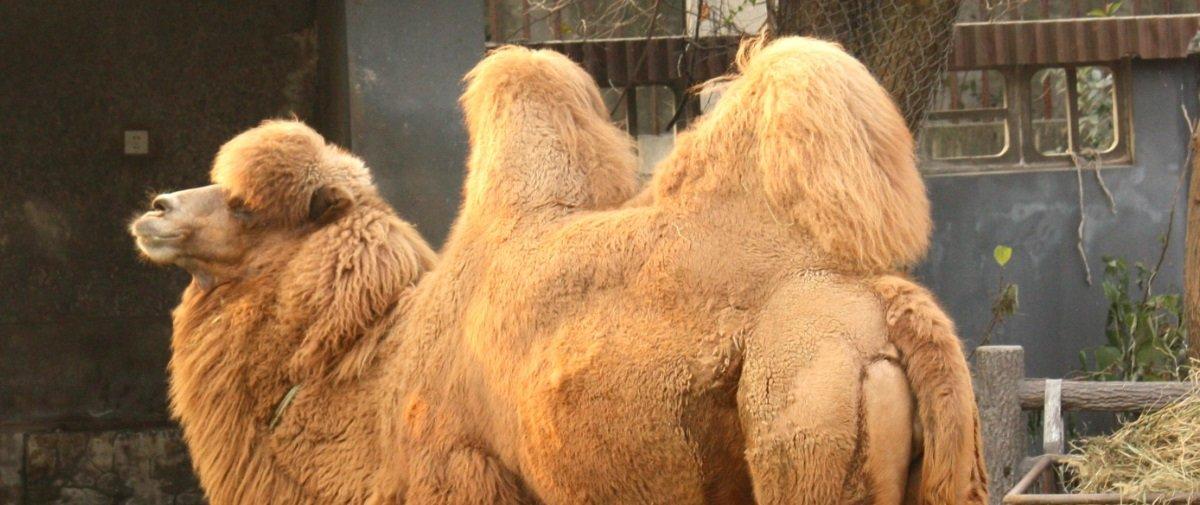 O que você sabe sobre as curiosas corcovas dos camelos?