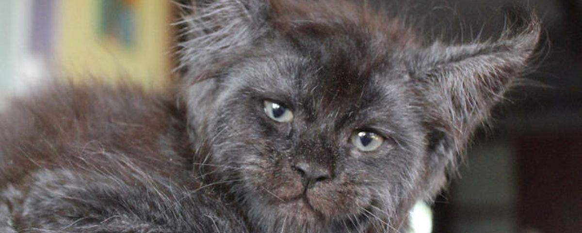 """Conheça Valkyrie, a gatinha com a cara mais """"humana"""" do mundo"""