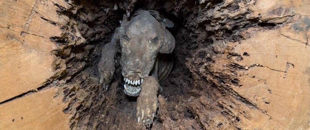 Este pobre cão leva mais de 50 anos mumificado no interior de um tronco