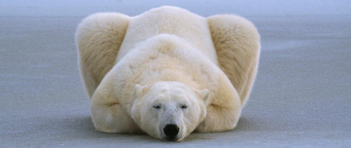 Polêmica: tripulação de navio cruzeiro abate urso-polar na Noruega