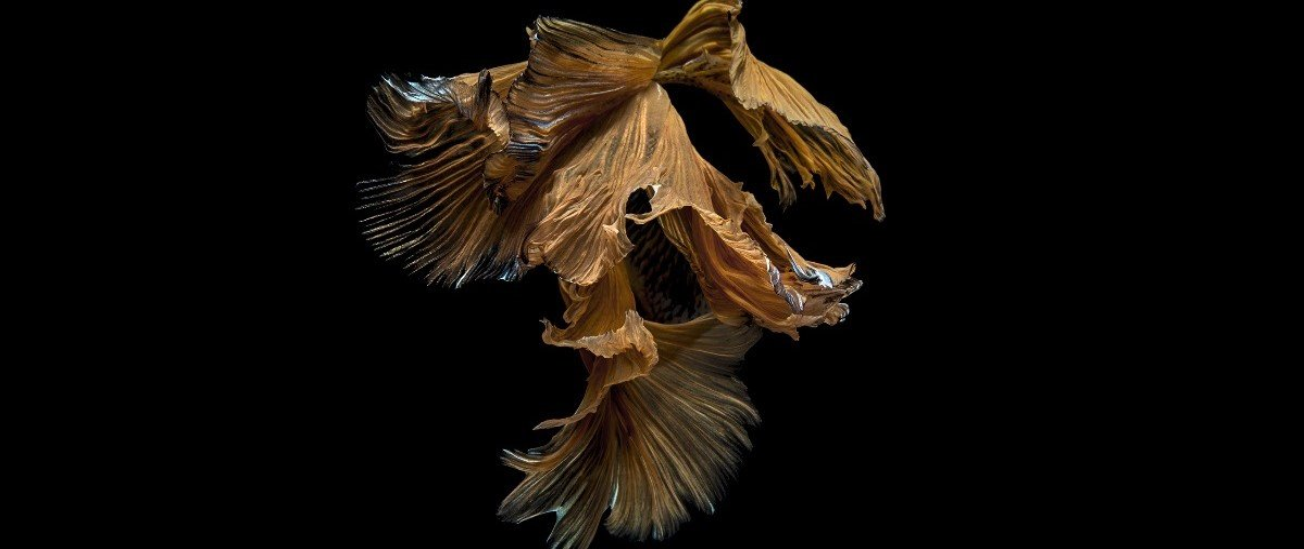 Os peixes-beta retratados por este fotógrafo parecem bailarinas dançando!