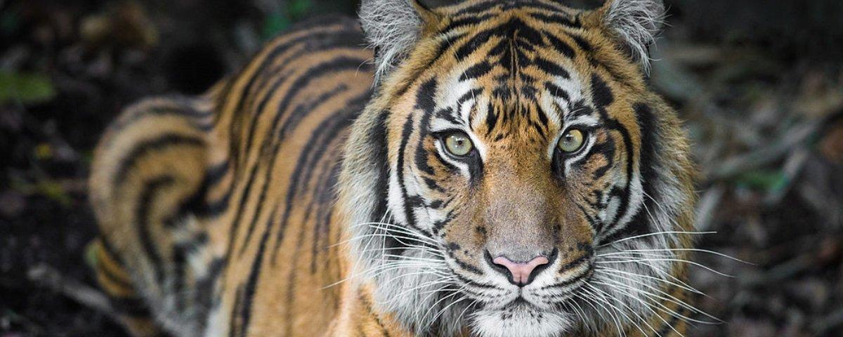 Acidente trágico provoca a morte de um dos tigres mais raros do mundo