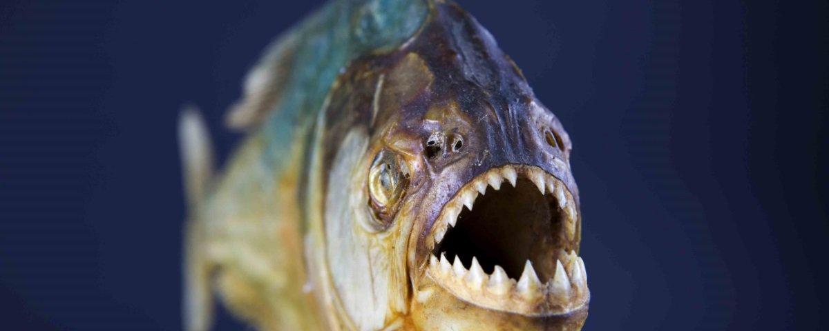 Acha as piranhas de hoje assustadoras? Imagine como eram as pré-históricas!