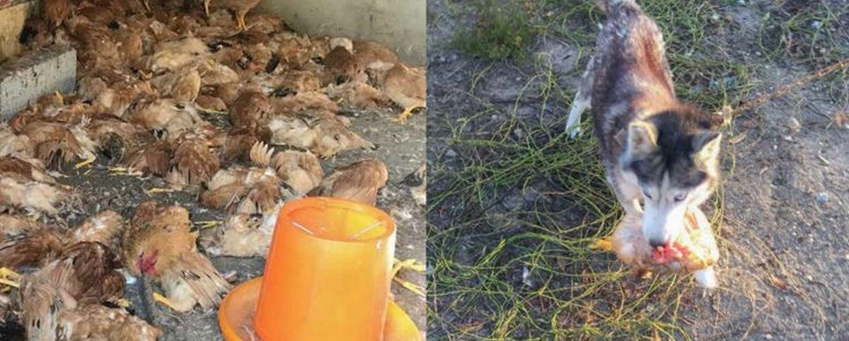 Tem Na Web - Matança: cachorro foge de canil e aniquila 600 galinhas em apenas uma noite
