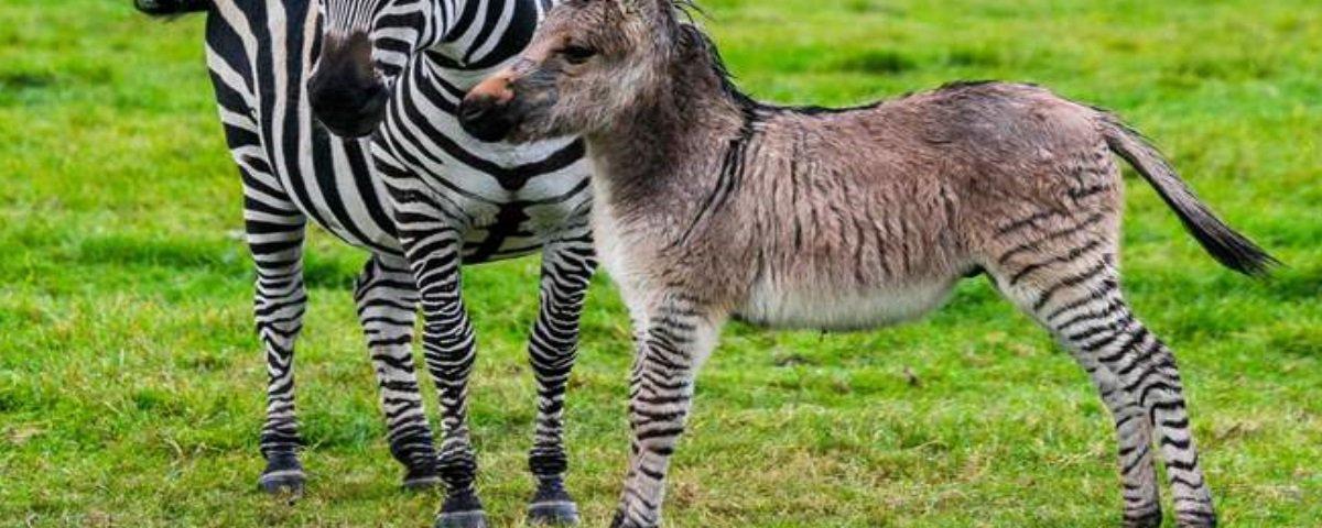 Veja o filhote nascido do raro cruzamento entre uma zebra e um burro