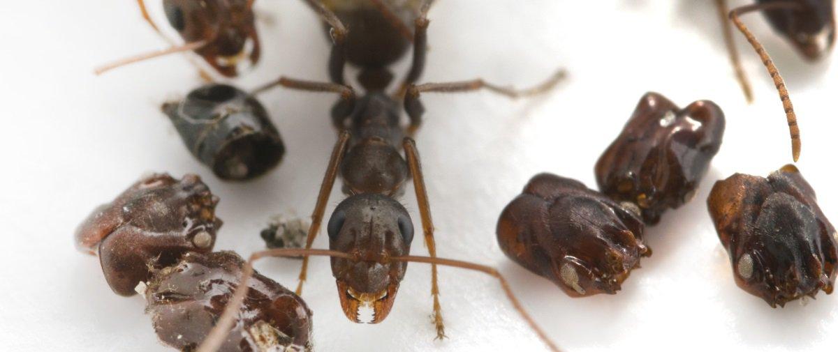 Estas formigas sinistras arrancam e colecionam as cabeças de suas inimigas