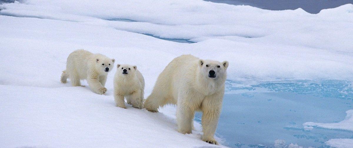Você sabe como os ursos-polares fazem para se secar depois de mergulhar?