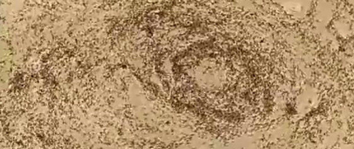 Conheça o fenômeno que leva milhares de formigas a marcharem até morrer