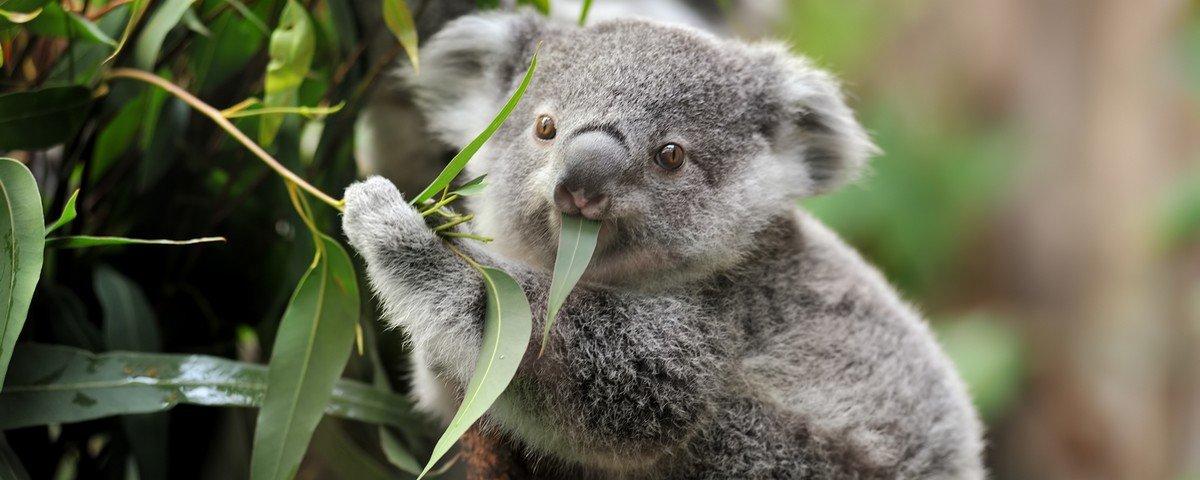 Más notícias: O coala é declarado funcionalmente extinto