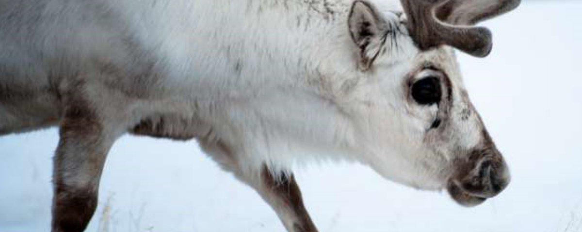 Mais de 200 renas morreram de fome em decorrência do aquecimento global
