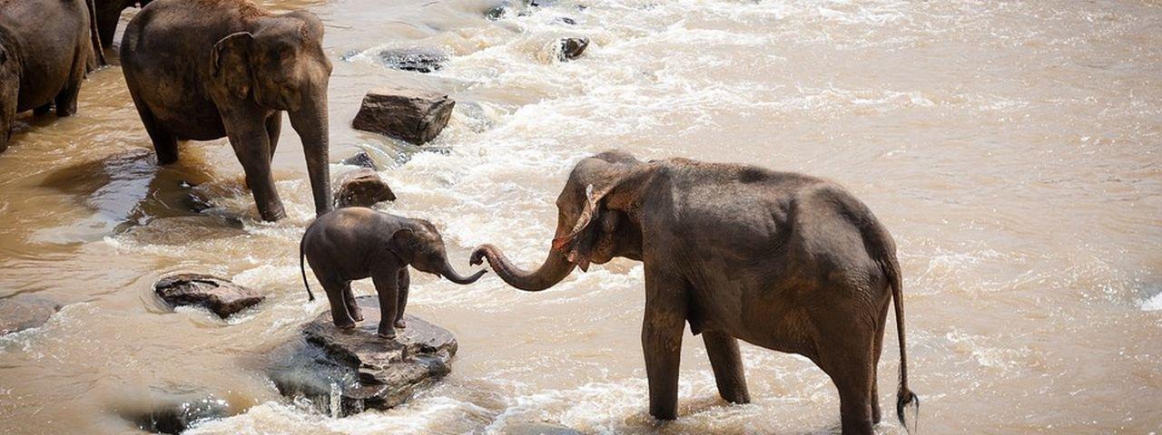 Elefantes tailandeses morrem tentando salvar filhote em cachoeira
