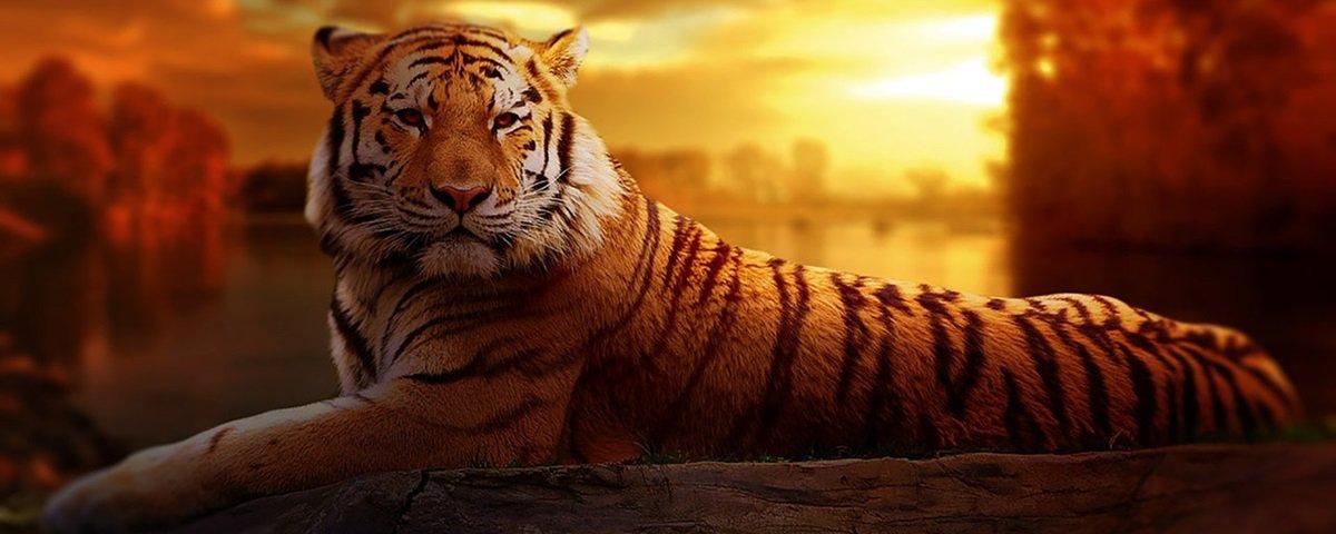 Tigre: o animal exótico de estimação mais procurado no mundo
