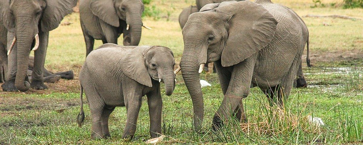 WWF alerta: elefantes africanos podem ser extintos até 2040