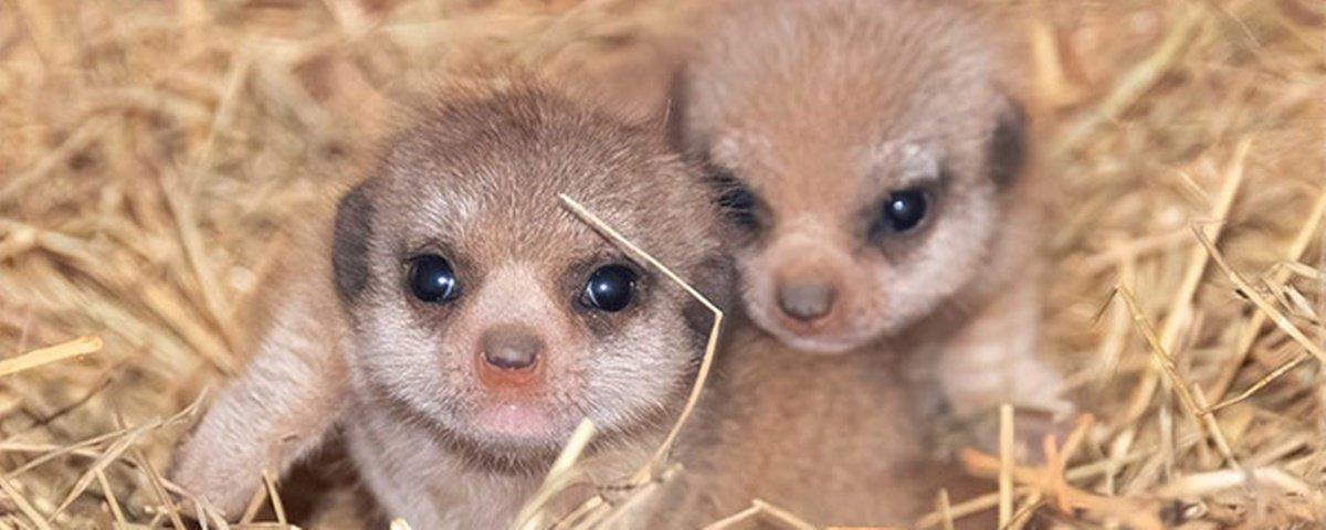 11 fotos dos primeiros suricatos nascidos no zoo de Miami