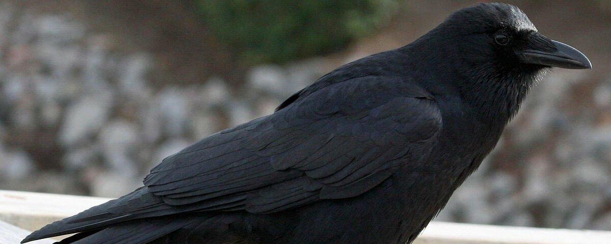 Entenda o processo de 'evolução e involução' destes corvos