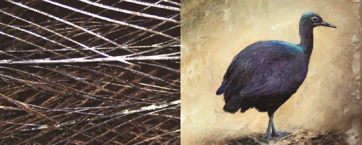 Pássaro perigoso tem estrutura de penas que o deixa 'brilhante'