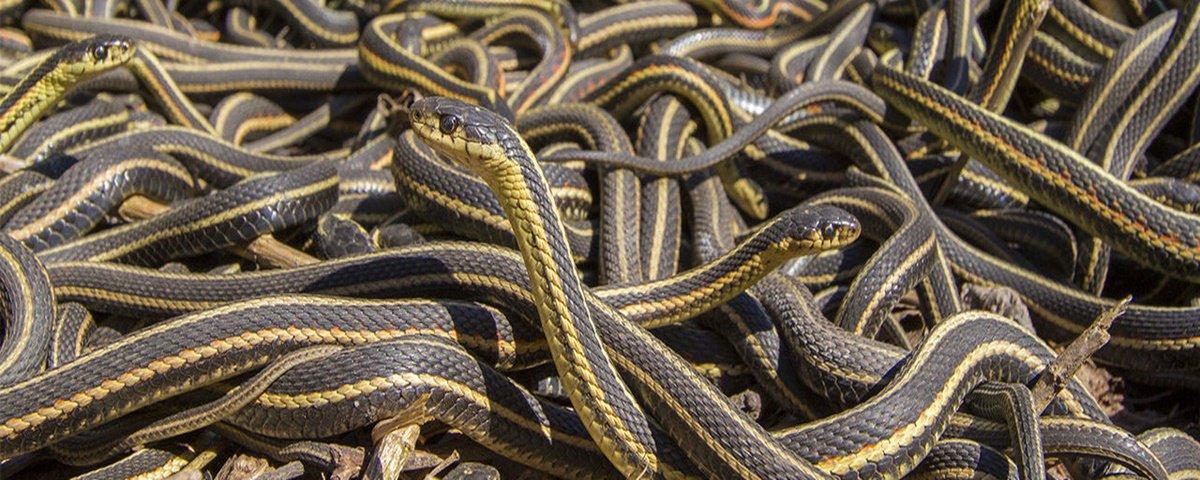 """Cobras são sociáveis e """"amigas"""", mostra pesquisa"""