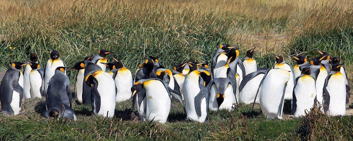 Cocô de pinguins libera gás do riso, descobrem pesquisadores