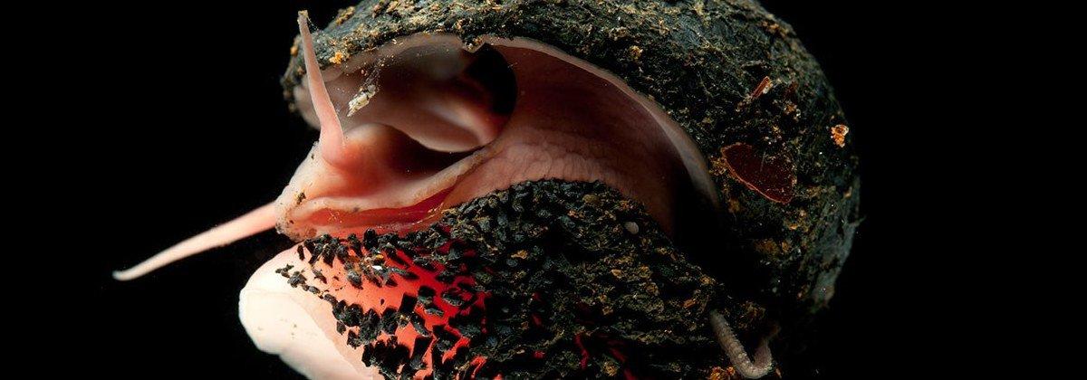 Conheça o caracol com pés metálicos e concha de ferro
