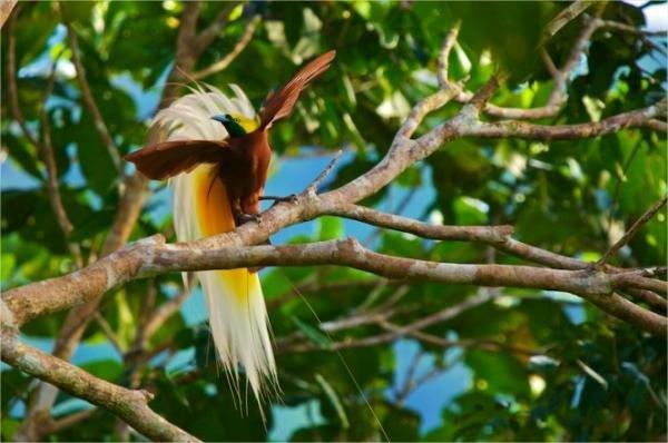 Fotógrafo passa 8 anos capturando imagens de pássaros em Nova Guiné