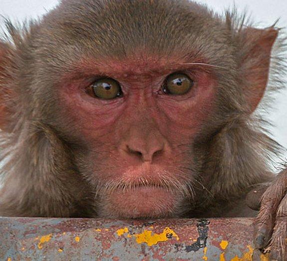 Cientistas turbinam cérebros de macacos com implantes neurais