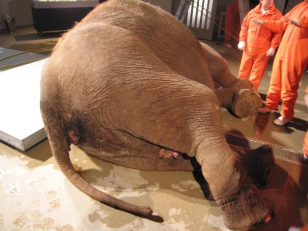 Como é um elefante por dentro?
