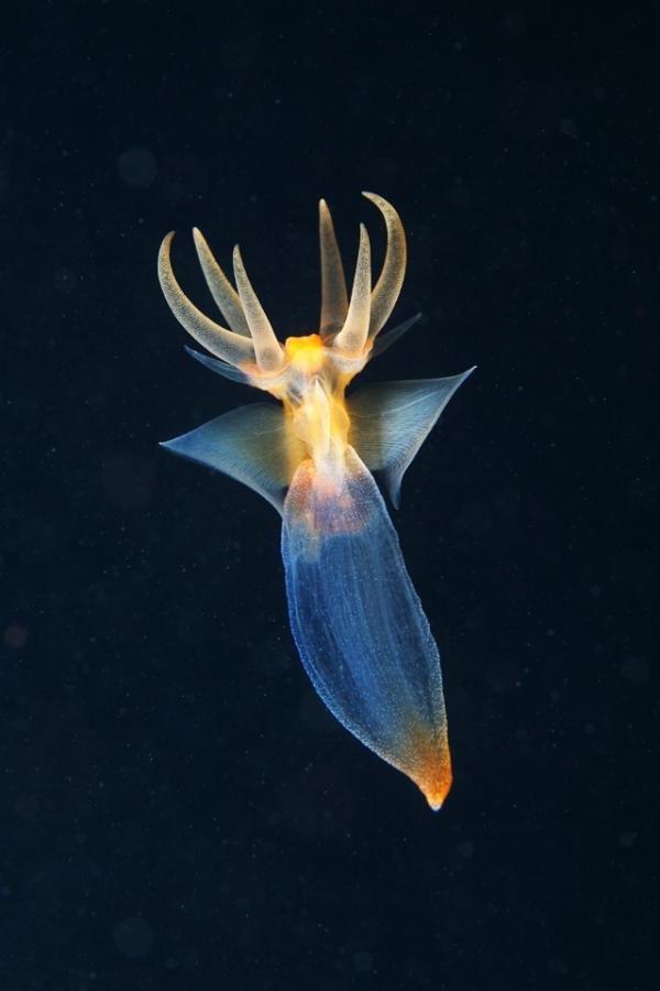 Fotos mostram animais quase alienígenas que habitam profundezas do oceano
