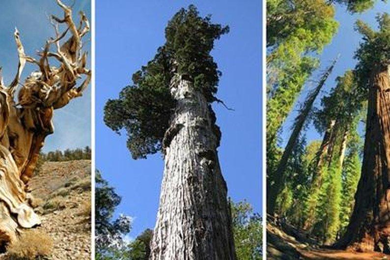 Fatores como clima e genética auxiliam na longevidade das árvores