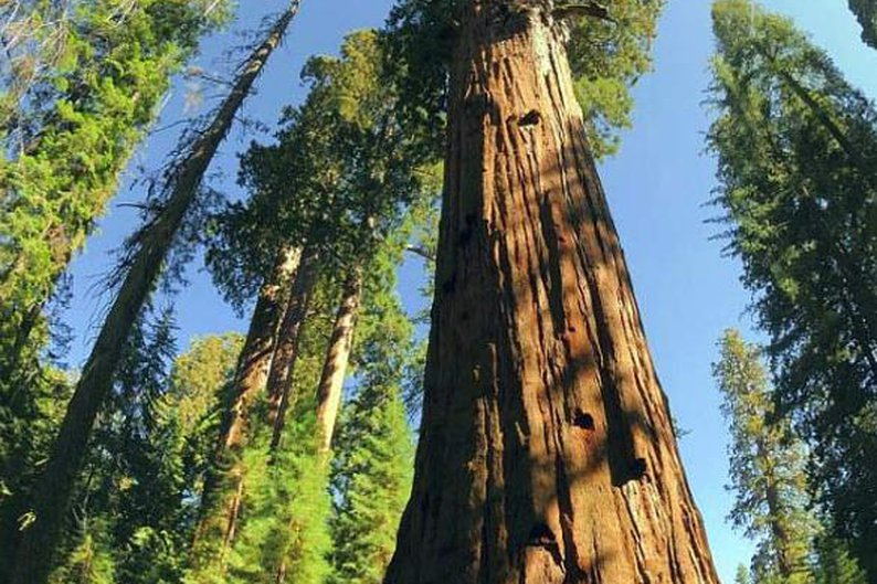 Sequoiadendron giganteum, 3.266 anéis.