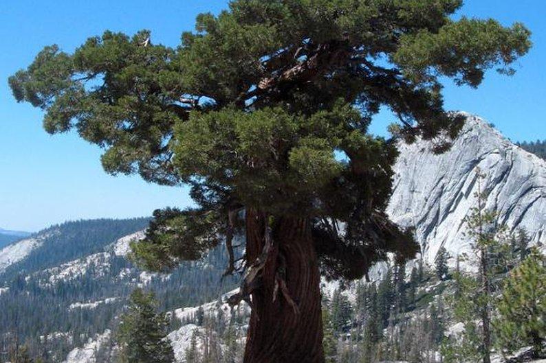 Juniperus occidentalis, 2.675 anéis.