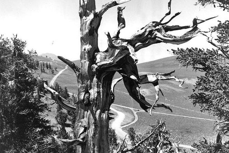 Pinus aristata, 2.435 anéis.