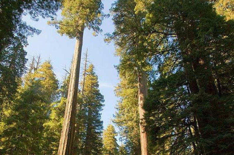 Redwood, 2.200 anéis.
