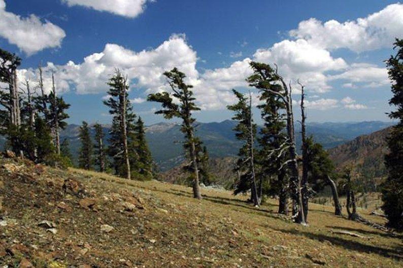 Pinus balfouriana, 2.110 anéis.