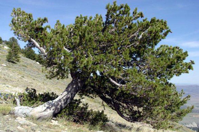 Pinus flexilis, 1.670 anéis.